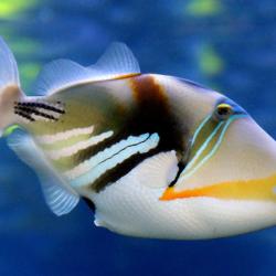 peces ballesta