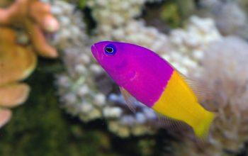 pseudochromis bicolor