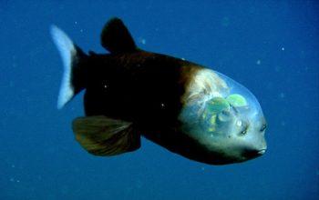 pez cabeza transparente