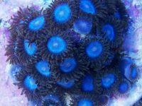 zoanthus panama blue