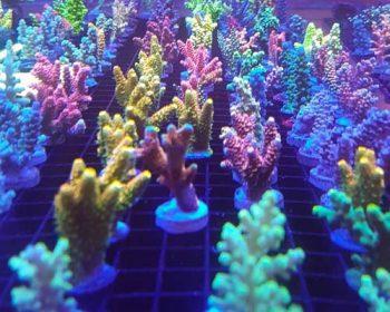 esquejes corales